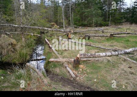 Several young Birch trees (Betula sp.) felled by Eurasian beavers (Castor fiber), Tayside, Scotland, UK - Stock Photo