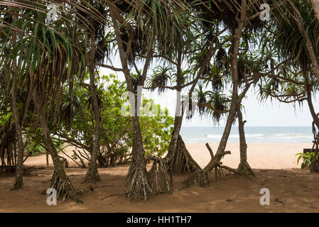 Pandanus palms on Bentota beach, Bentota, Sri Lanka - Stock Photo