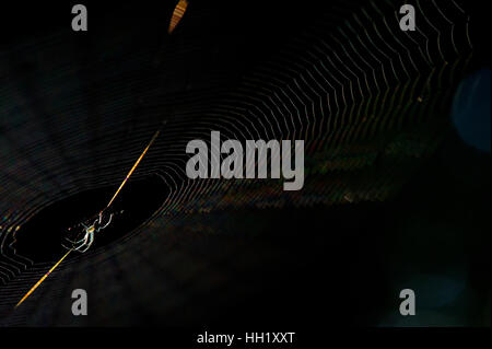 An Orchard Orbweaver spider sits on its web against a black background - Stock Photo