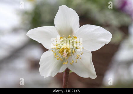 White christmas Rose, Hellebore - Stock Photo