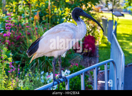Australian white ibis in the Royal Botanic Garden of Sydney, Australia. - Stock Photo