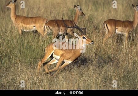 Impala,  aepyceros melampus, Male running, Masai Mara Park in Kenya - Stock Photo