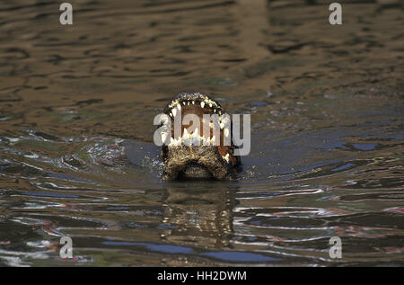 American Alligator,   alligator mississipiensis, Adult with Open Mouth - Stock Photo