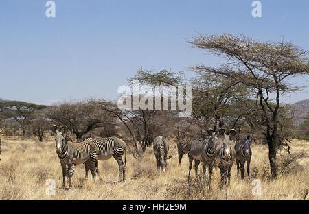Grevy's Zebra,  equus grevyi, Herd at Samburu Park, Kenya - Stock Photo