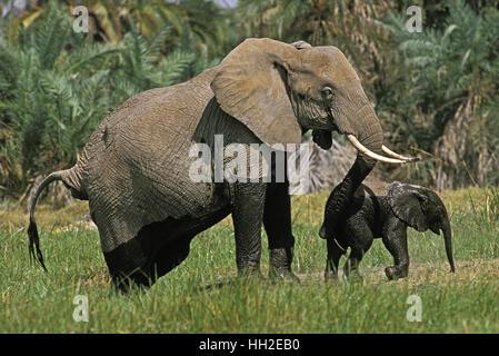 African Elephant,  loxodonta africana, Mother and Calf emerging from Swamp, Masai Mara Park in Kenya - Stock Photo