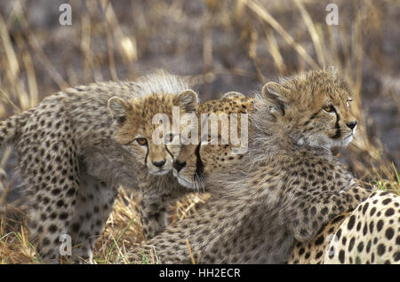 Cheetah, acinonyx jubatus, Mother and Cub, Masai Mara Park in Kenya - Stock Photo