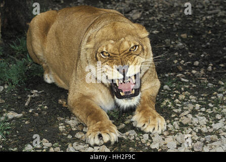African Lion, panthera leo, Female Snarling - Stock Photo