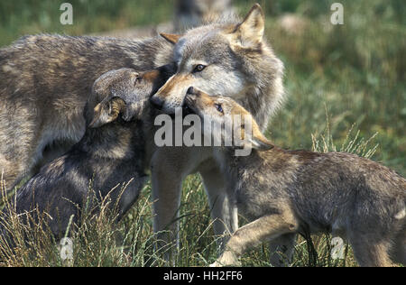 European Wolf,  canis lupus, Mother and Cub - Stock Photo