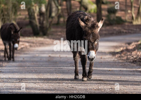 Donkeys on road in New Forest National Park. Pair of free roaming animals walking along through woodland in southern - Stock Photo