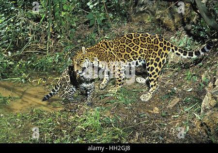 jaguar standing - photo #19