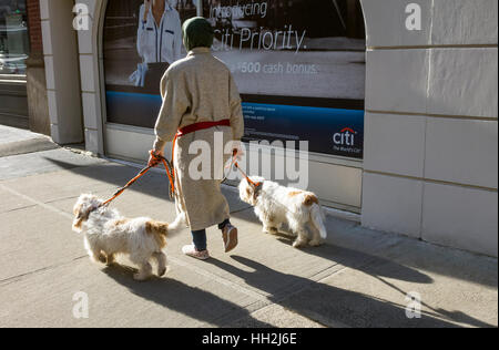 Matching Havanese dogs being walked by a woman in New York City - Stock Photo