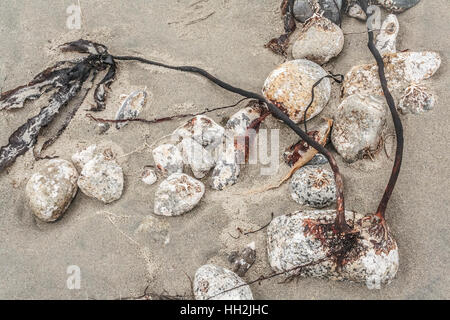 Smooth rocks and strands of washed-up kelp, still attached by their holdfasts, are exposed at low tide on a sandy - Stock Photo
