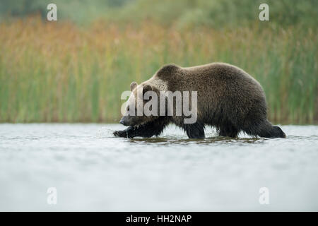 European Brown Bear ( Ursus arctos ) walks through shallow water, hunting, searching for food, exploring its environment. - Stock Photo