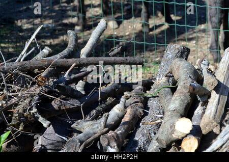 Small Green Vine Snake, Ahaetulla nasuta in a woodpile Chrysopelea ornata