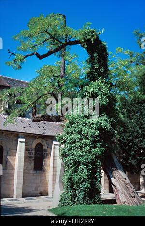Locust Tree (Robinia pseudoacacia), Black Locust Tree or False Acacia, the Oldest Tree in Paris, planted in 1601 - Stock Photo