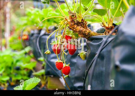 Strawberries growing in lines in greenhouse farm - Stock Photo