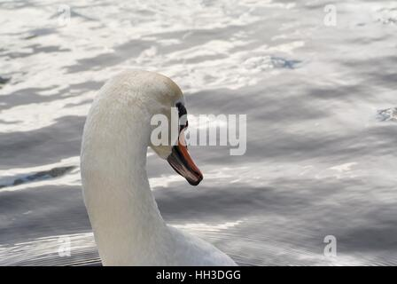 Close up of mute swan's head showing underside of bill and teeth - Stock Photo