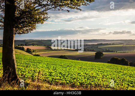 Evening light over the North Wessex Downs in Wiltshire. - Stock Photo