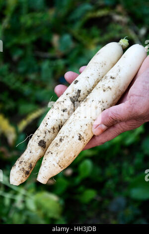 radish or two daikons in fields - Stock Photo
