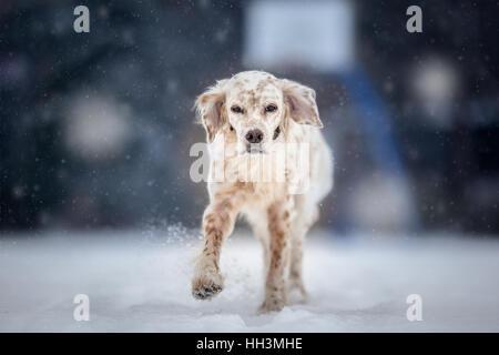 English Setter Running on winter day - Stock Photo