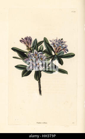 Daphne sericea (Daphne collina). Handcoloured copperplate engraving by George Cooke from Conrad Loddiges' Botanical - Stock Photo