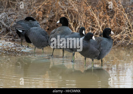 American Coots, (Fulica amaericana), preening.  Bosque del Apache National Wildlife Refuge, New Mexico, USA. - Stock Photo