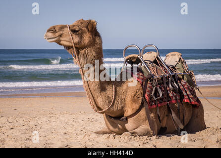 Camel resting on beach in Australia - Stock Photo
