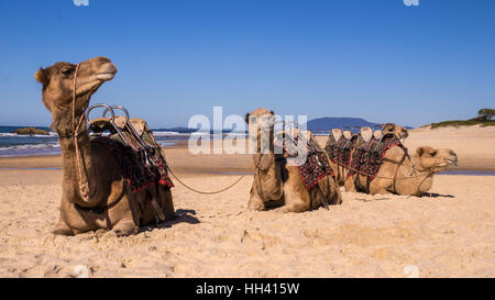 Camels resting on beach in Australia - Stock Photo