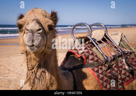Camel with saddle resting on beach in Australia - Stock Photo