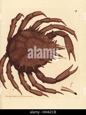 Norway king crab or northern stone crab, Lithodes maja. Handcoloured copperplate engraving by James Sowerby from - Stock Photo