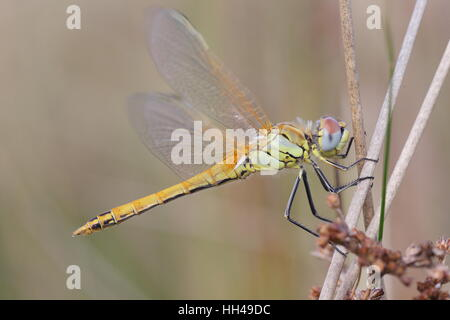 Red-veined Darter (Sympetrum fonscolombii) - a locally bred immature perched on a stem; a rare dragonfly in Britain - Stock Photo