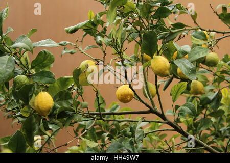 Zitronen an einem Zitronenbaum