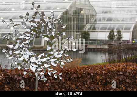 Ornamental silver leaves in the garden by Glasshouse at RHS Garden Wisley, Woking, Surrey, England in January - Stock Photo