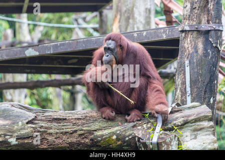 Orangutan sitting on a  branch eating - Stock Photo