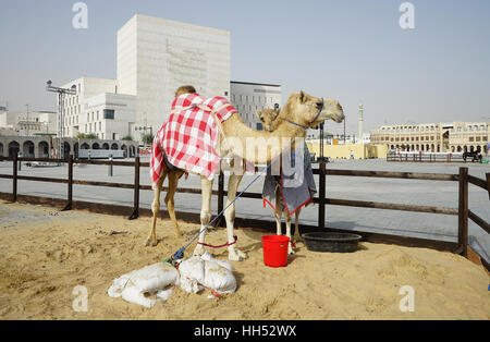 Camels for sale in the market at the Souq Waqif in the center of Doha,  the capital of Qatar - Stock Photo