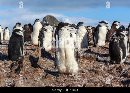 1y old chinstrap chick penguin standing among his colony members gathered on the rocks, Half Moon Island, Antarctic - Stock Photo