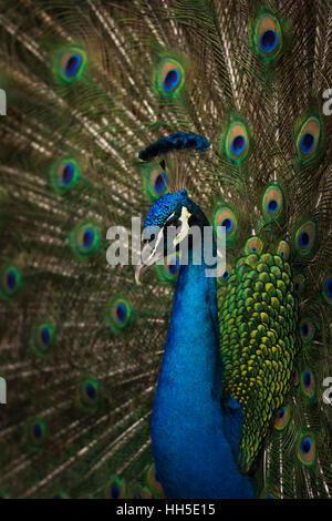 Male peacock close up, displaying colorful tail feathers - Stock Photo