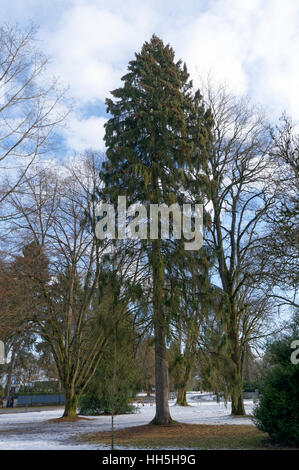 Norway spruce tree (Picea abies)  in Shaugnessy Park, Vancouver, British Columbia, Canada - Stock Photo