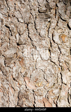 Rough bark of Norway spruce (Picea abies)  in Shaugnessy Park, Vancouver, British Columbia, Canada - Stock Photo
