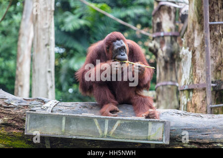 Orangutan sitting on a ledge eating - Stock Photo