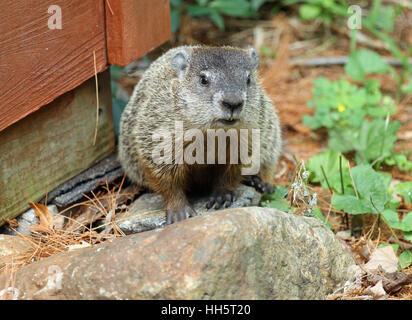 Groundhog (Marmota monax) with visible incisors sitting on a rock during a New England summer - Stock Photo