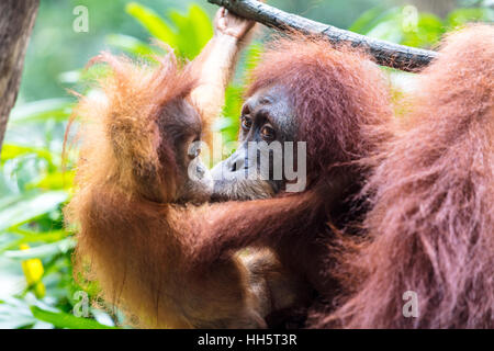Mother with baby orangutan - Stock Photo