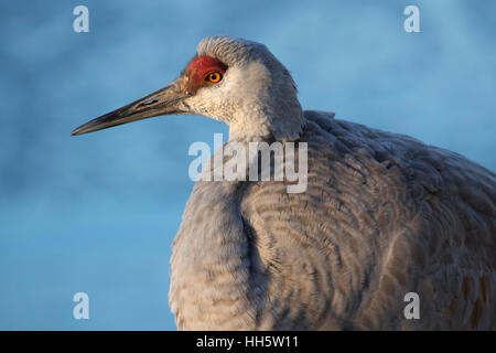 Sandhill crane, George C Reifel Migratory Bird Sanctuary, British Columbia, Canada - Stock Photo