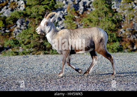 Rocky Mountain bighorn sheep. Ewe has short, slender horns that never form more than half-curl. These horns can - Stock Photo