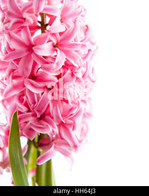 Spring pink hyacinth flower on white background - Stock Photo
