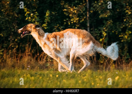 Russian Dog, Borzoi Fast Running In Summer Sunset Sunrise Meadow Or Field - Stock Photo
