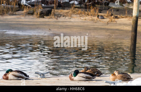 four mallard ducks asleep on a dock on a cold January day in Sag Harbor, NY - Stock Photo