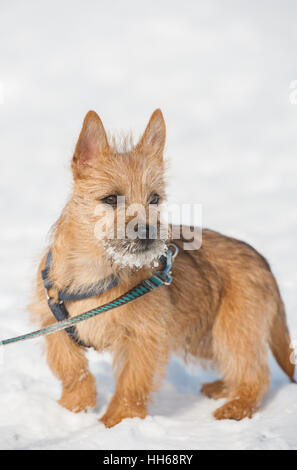 Must see Cairn Terrier Ball Adorable Dog - cute-cairn-terrier-puppy-playing-outside-in-cold-winter-snow-young-hh68ry  2018_57436  .jpg
