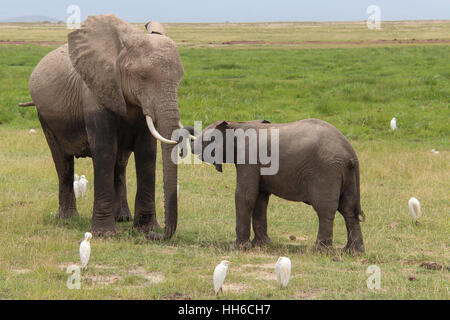 Mother elephant (loxodonta africana) and her baby surrounded by white egrets in Amboseli National Park, Kenya - Stock Photo