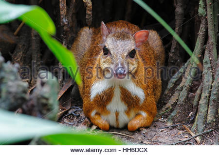 Lesser mouse-deer Tragulus kanchil sit on the ground - Stock Photo